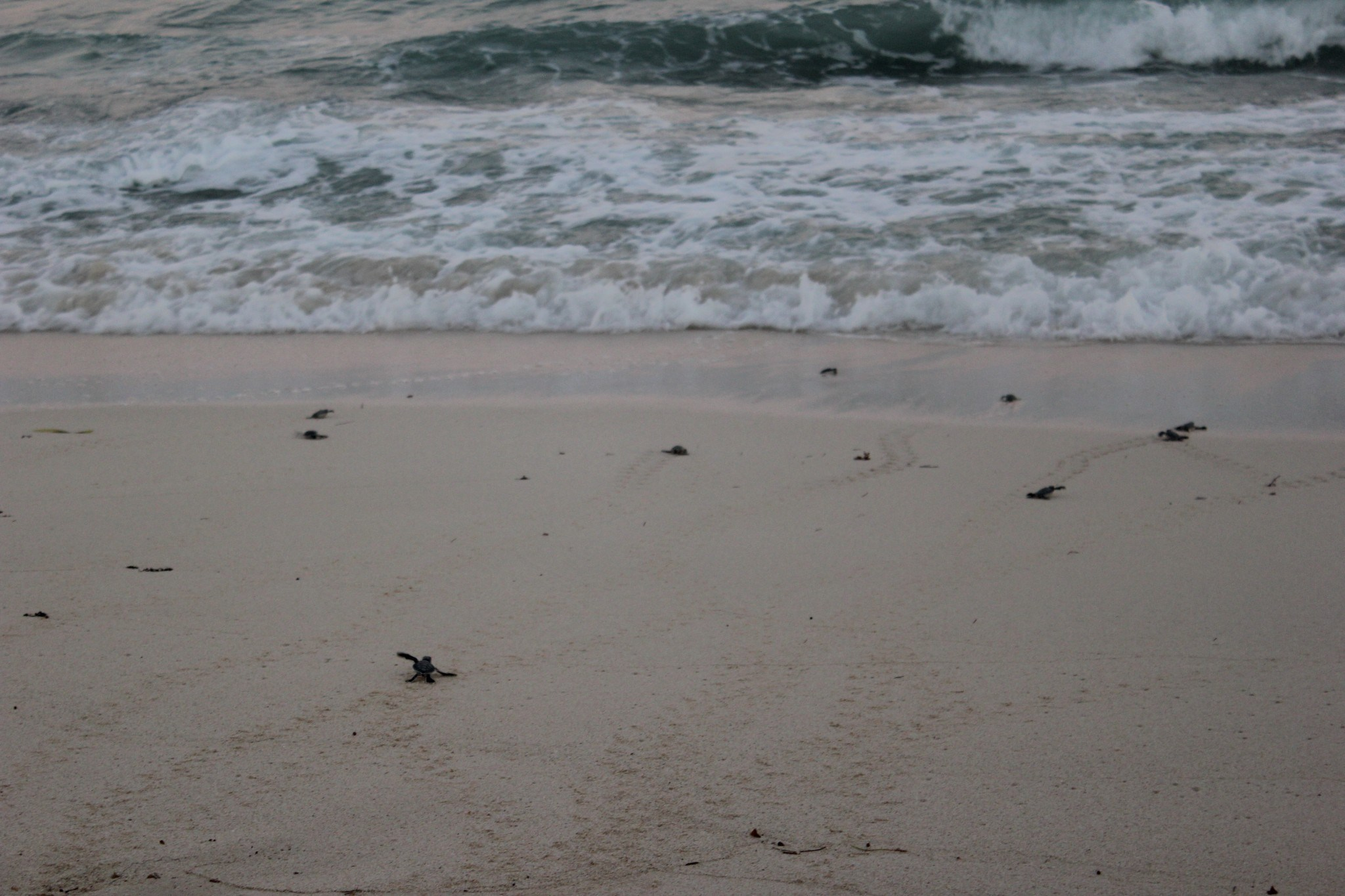 Releasing baby sea turtles in mexico jetsetting fools releasing baby sea turtles and watching them head to the ocean in mexico publicscrutiny Image collections
