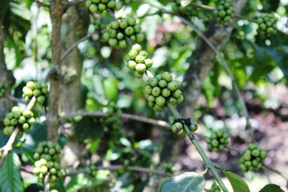Coffee Bean plants at Coffee Farm in Central Highlands of Vietnam near Dalat