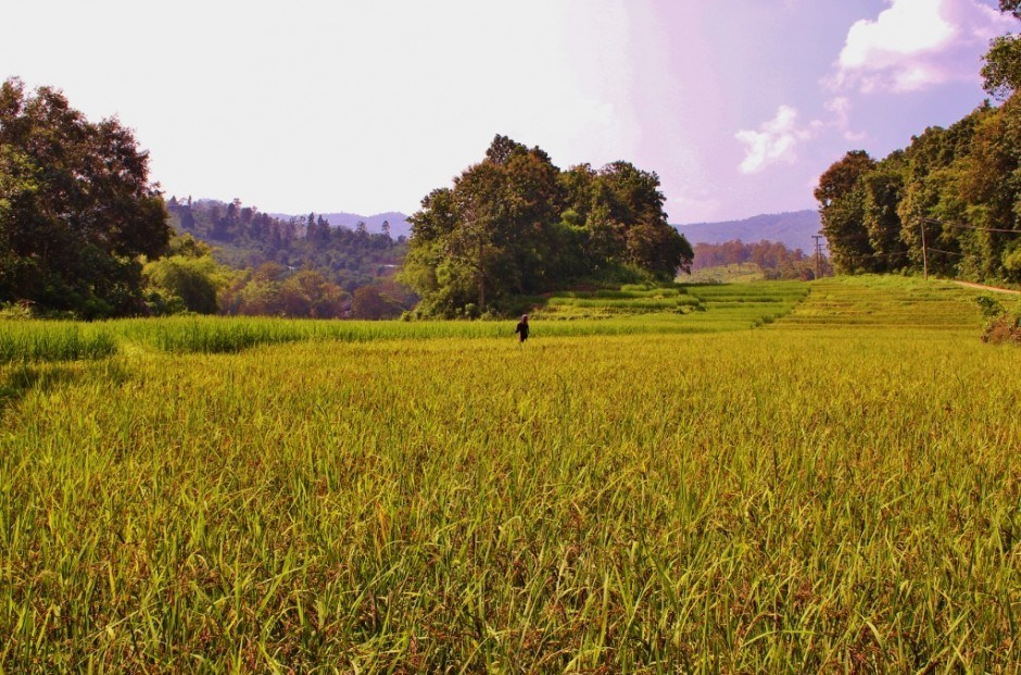 Chiang Mai trekking trip: Trekking through rice fields