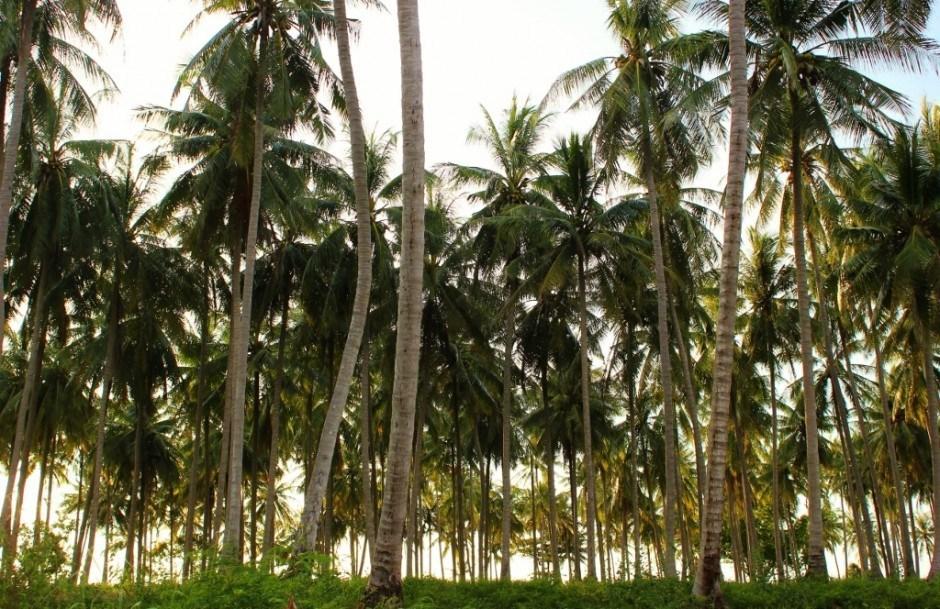 Koh Lanta palm trees