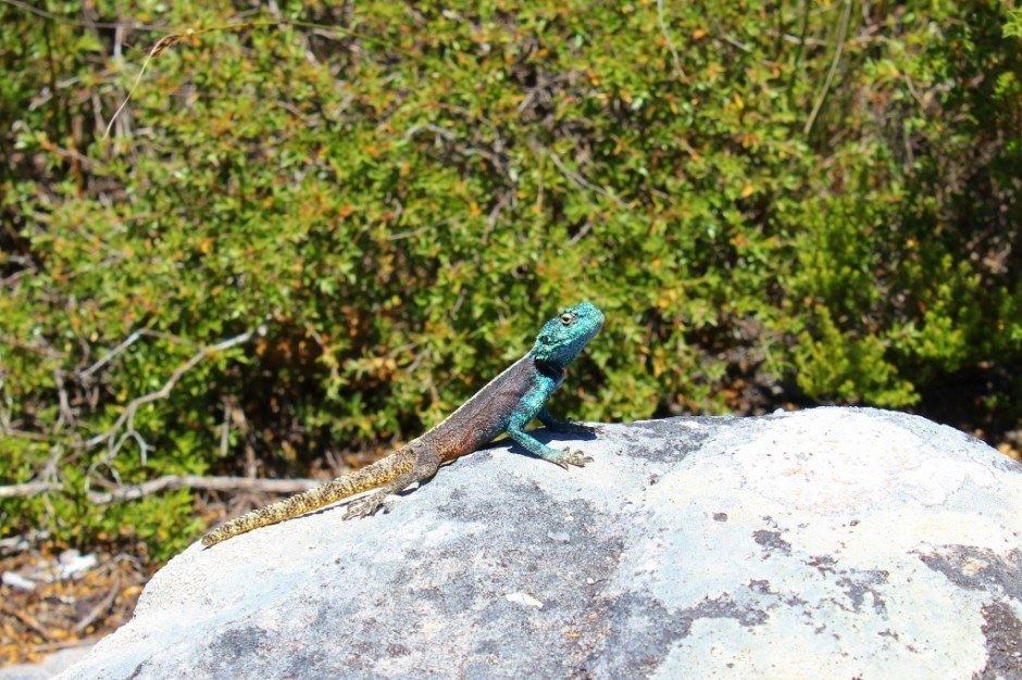 Lizard basks in sun on rock at top of Table Mountain in Cape Town, South Africa