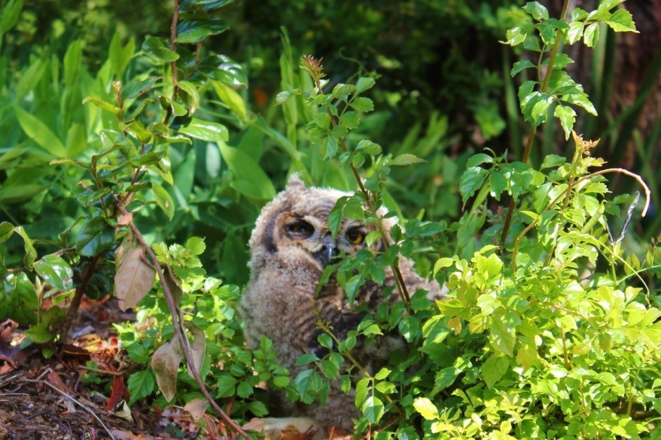 Visiting Kirstenbosch Botanical Garden: A baby owl is just six weeks old and learning to fly