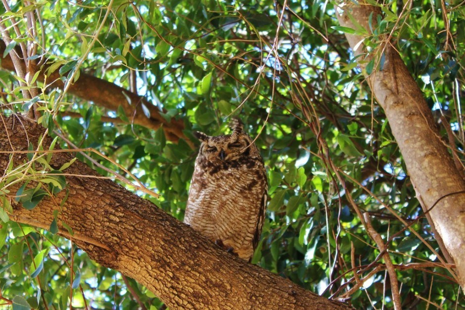 Visiting Kirstenbosch Botanical Garden: The mama Spotted Eagle Owl keeps a close watch on her young baby