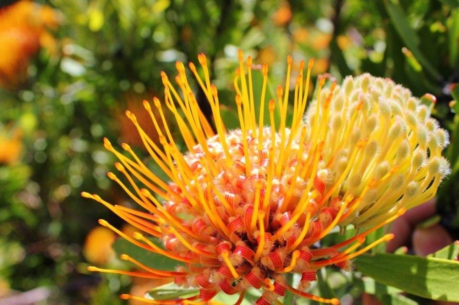 Visiting Kirstenbosch Botanical Garden: The intricate pincushion flower