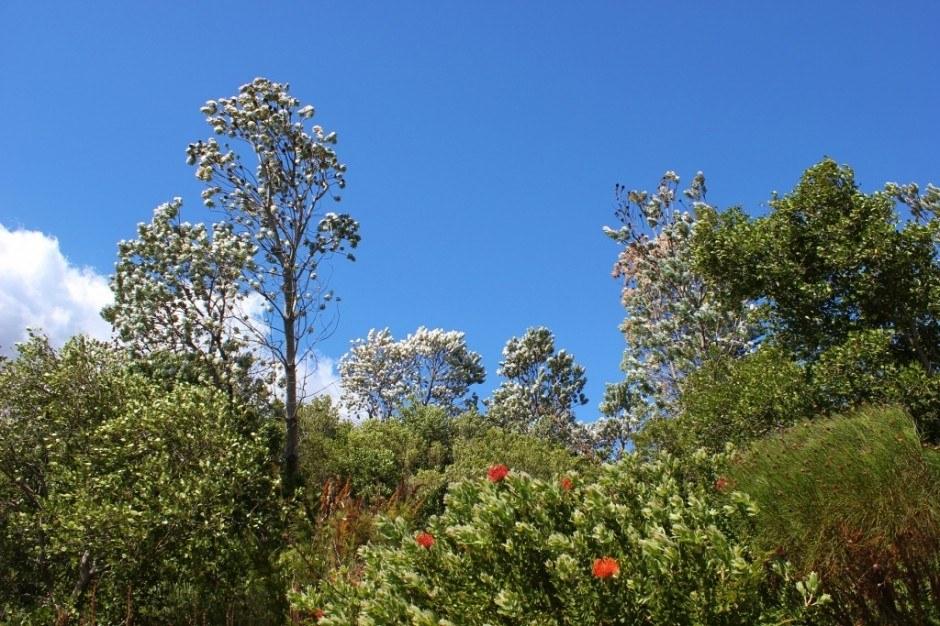 Visiting Kirstenbosch Botanical Garden: Silver trees glisten and shimmer in the sunlight