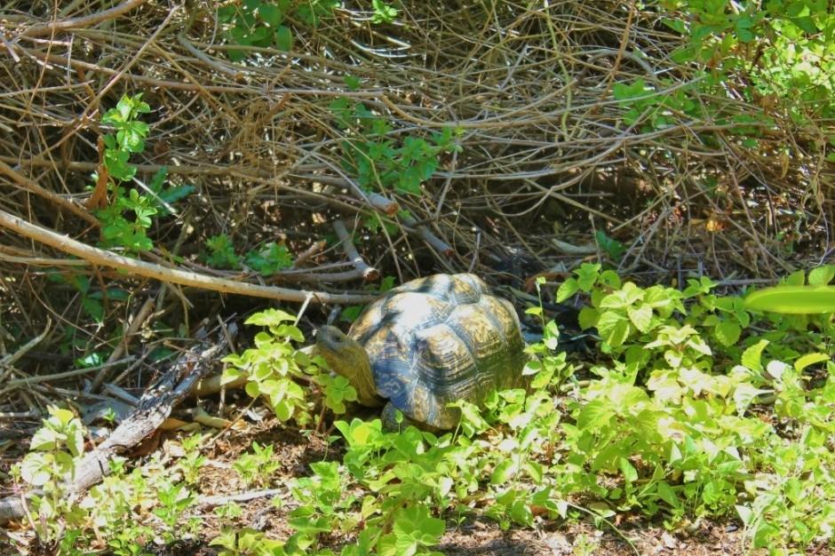 Visiting Kirstenbosch Botanical Garden: a tortoise wandering the paths, just like us