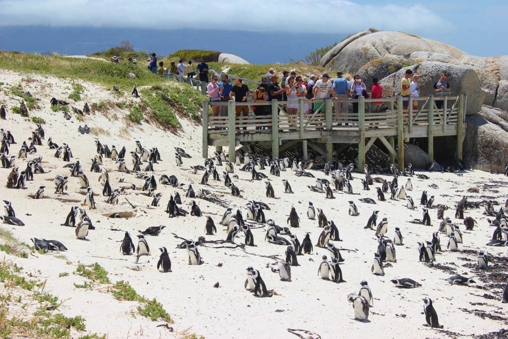 African Penguins At Boulders Beach In Simon S Town South Africa Jetsetting Fools