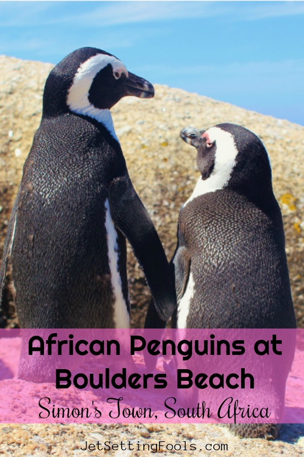 Penguins at Boulders Beach in Simon's Town South Africa by JetSettingFools.com
