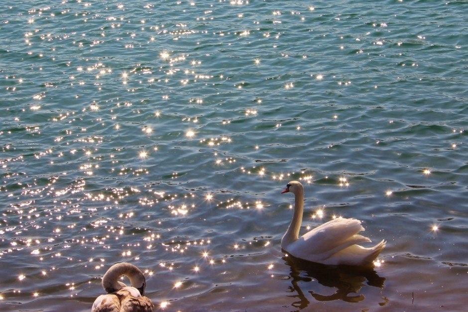Jarun Park Lake with swans in Zagreb Croatia