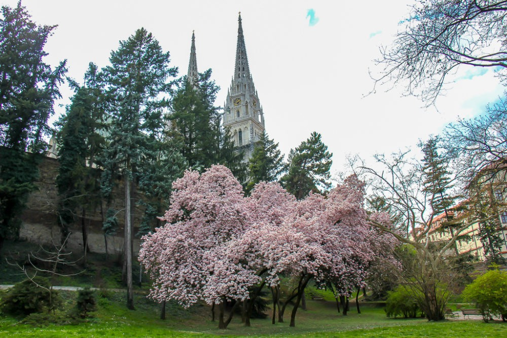 Blossoming tree in Ribnjak Park in Zagreb, Croatia