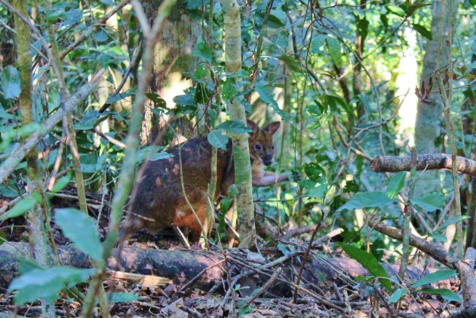 Best Hikes of our Journey: We crossed paths with a wallaby on the Blue Arrow Trail in Cairns, Australia