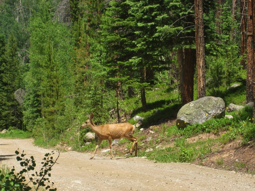 Colorado summer 2015: Driving into the mountains we spotted a deer