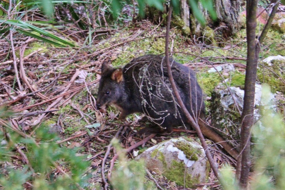 We spotted a few Tasmanian Pademelons (Wallabies) while hiking down Mount Wellington