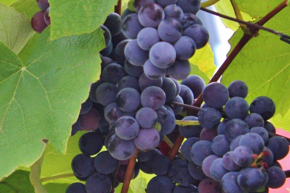 Istiran Wine Grapes in Rovinj Croatia
