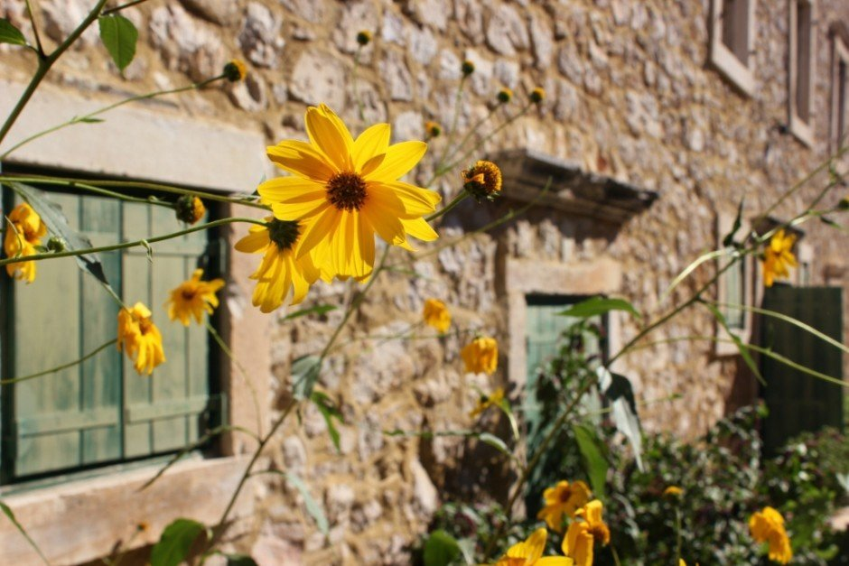 Autumn flowers on a sunny day in Skradin, Croatia