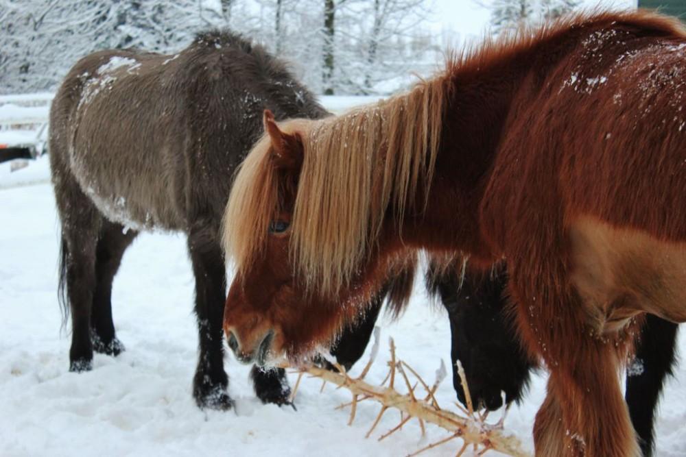 Iceland in Wintertime Icelandic Horses JetSettingFools