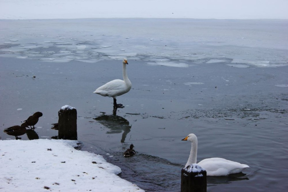 Iceland in Wintertime Swans on frozen Tjornin JetSettingFools