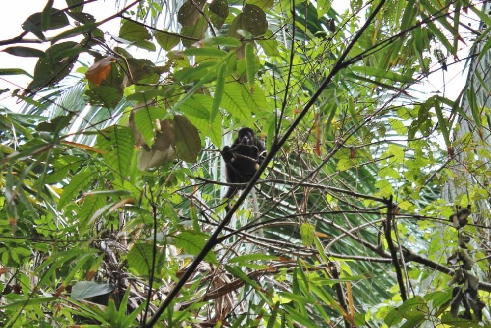 Osa Peninsula Howler Monkey