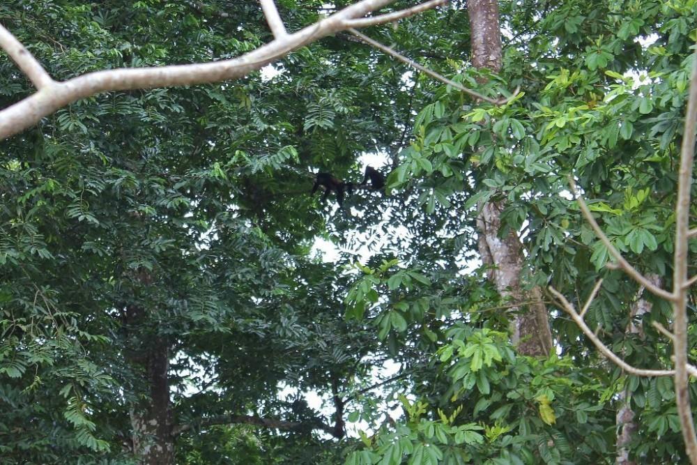 Osa Peninsula Howler Monkeys in tree