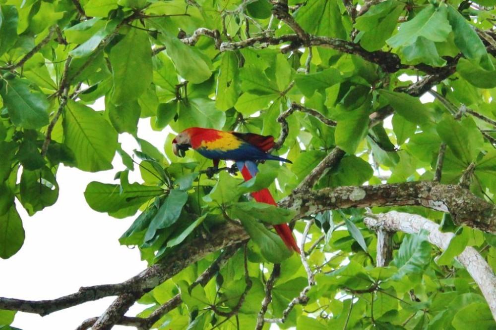 Osa Peninsula Scarlet Macaw