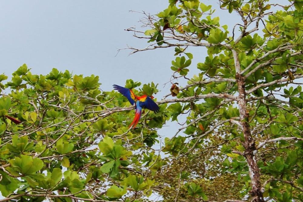 Osa Peninsula Scarlet Macaw in flight