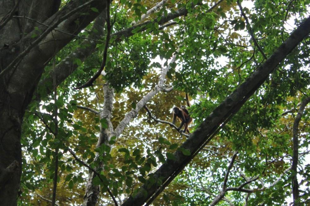 Osa Peninsula Spider Monkey Mama and Baby