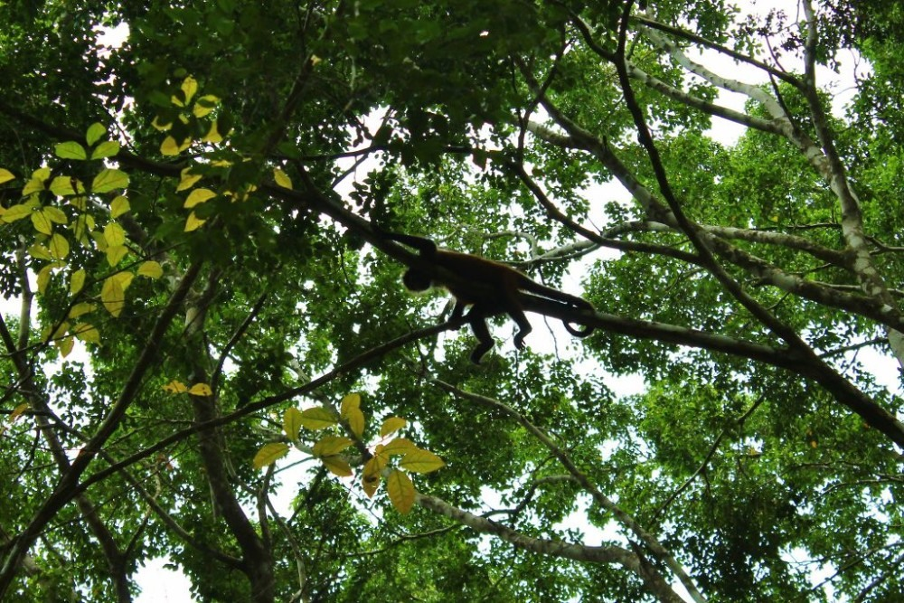 Osa Peninsula Spider Monkey on Limb JetSetting Fools