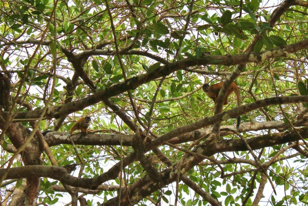 Osa Peninsula Squirrel Monkey