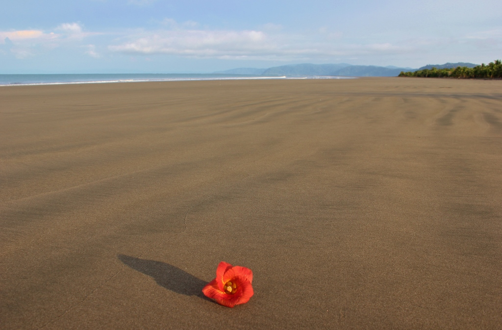 Red flower on the beach on Playa Zancudo, Costa Rica