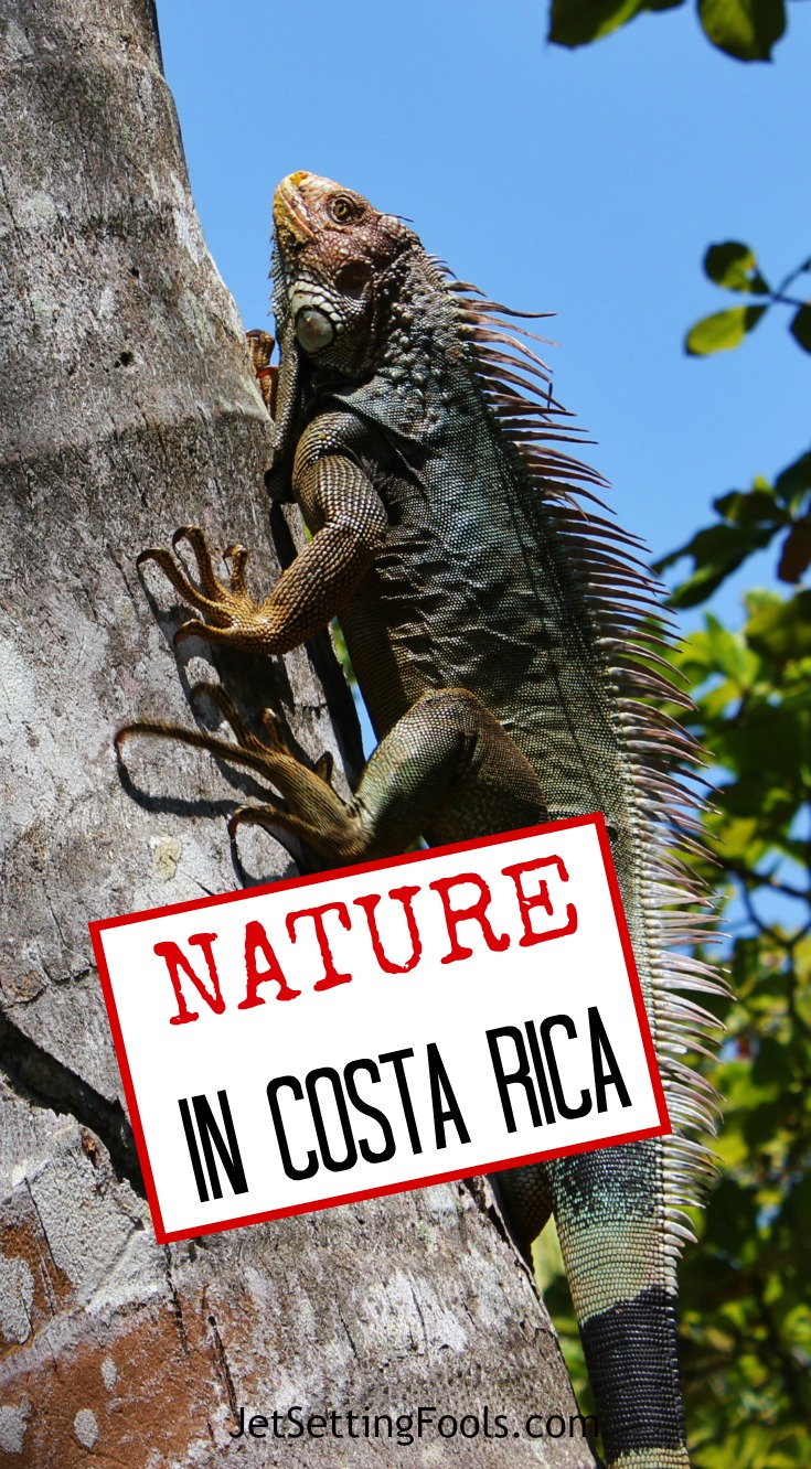 Nature in Costa Rica Green Iguana Climbing Tree JetSettingFools.com