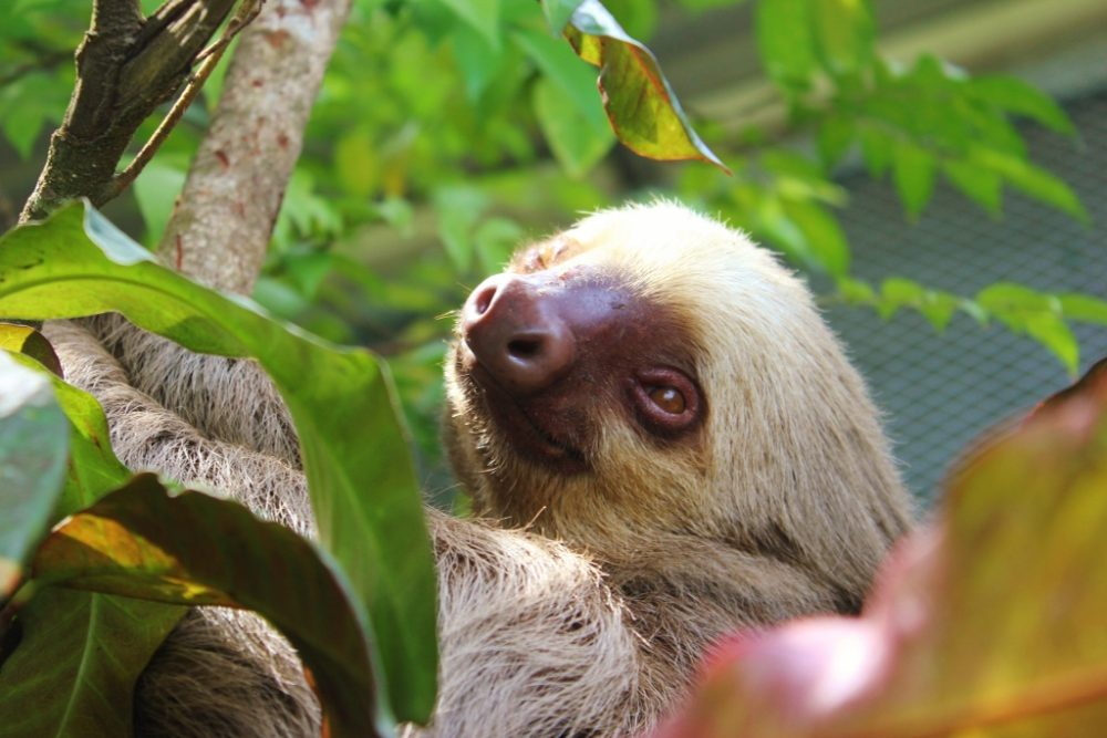 The Sloth is a beautiful part of Nature in Costa Rica