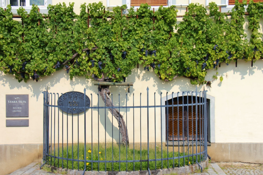 World's Oldest Vine grows on Old Vine House in Maribor, Slovenia