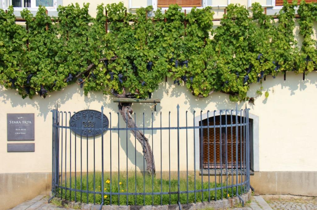 World's Oldest Vine grows on Old Vine House in Maribor, Slovenia