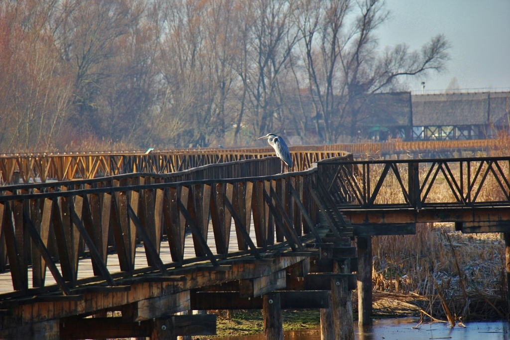Grey Heron on boardwalk rail at Kopacki Rit Nature Park in Osijek, Croatia