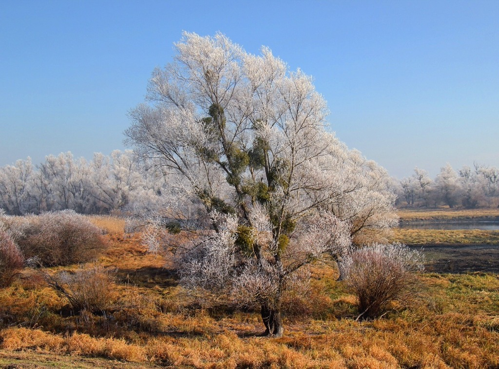 Frost covered tree at Kopacki Rit Nautre Park in Osijek, Croatia