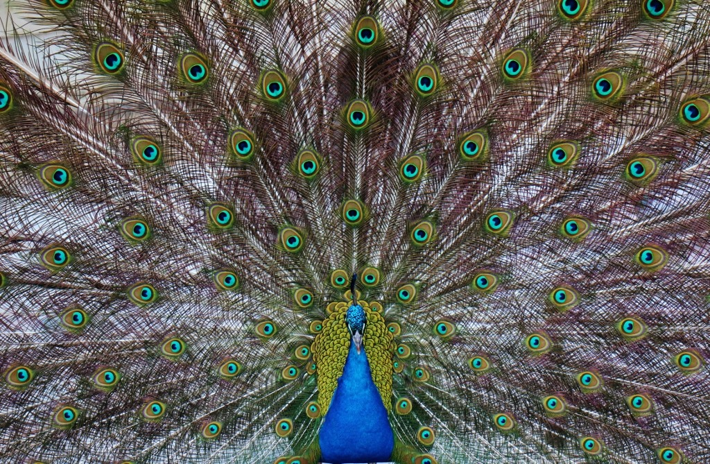 Dancing peacock at Royal Lazienki Park in Warsaw, Poland
