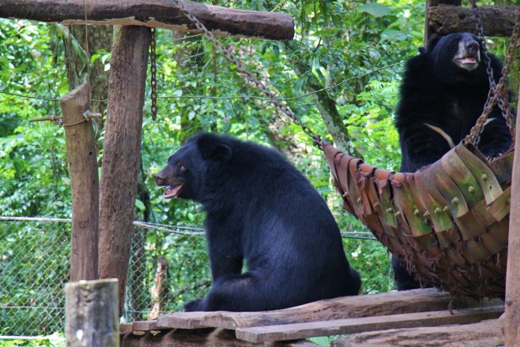 Two Moon Bears at Kuang Si Bear Rescue Center in Luang Prabang, Laos