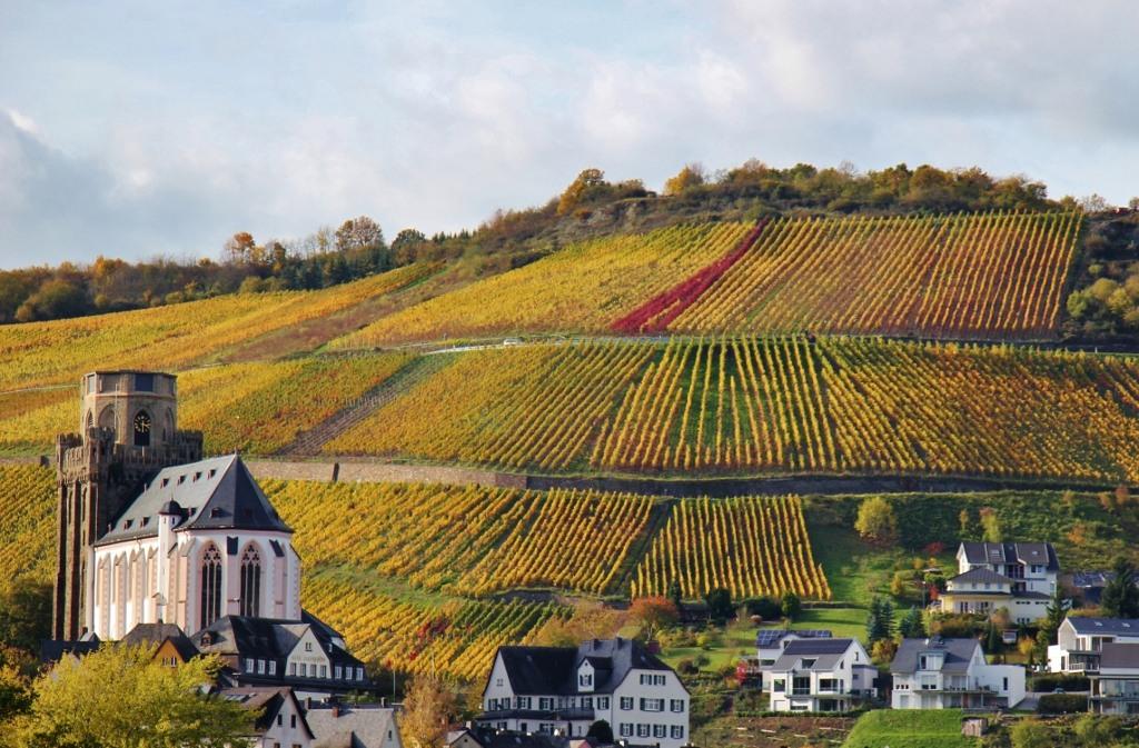 Hillside vineyard in autumn on Romantic Rhine River in Germany